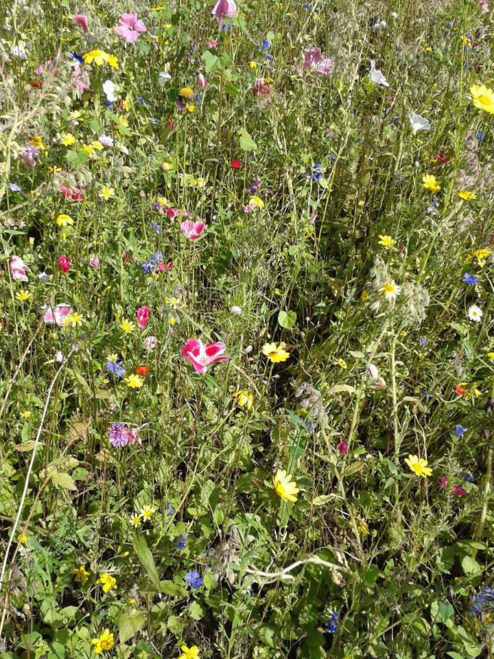 Dryffyn wildflowers